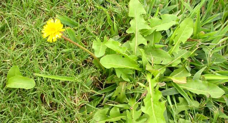 5 Masalah Rumput Paling Umum Yang Sering Terjadi