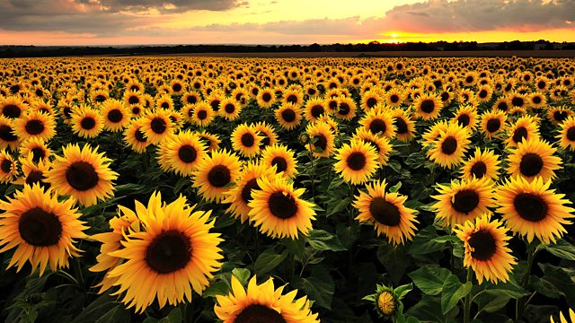 Tips Merawat Bunga Matahari Guna Mempercantik Pekarangan Rumah Tropical Design Frenkie Zane